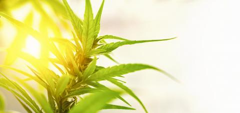 Concept breeding of marijuana, cannabis, legalization, herbal alternative medicine, CBD oil. Cannabis plant grown commercially for hemp production, banner sitze, copyspace for your individual text. - Stock Photo or Stock Video of rcfotostock | RC-Photo-Stock