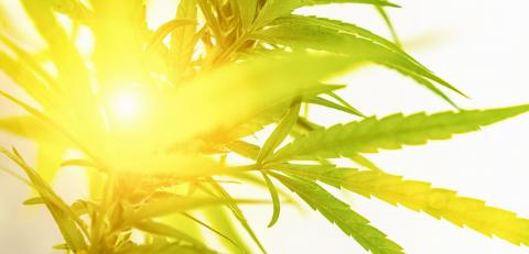 Concept of marijuana; cannabis; legalization; herbal alternative medicine; CBD oil. Cannabis plant grown commercially for hemp production; banner size : Stock Photo or Stock Video Download rcfotostock photos, images and assets rcfotostock | RC-Photo-Stock.: