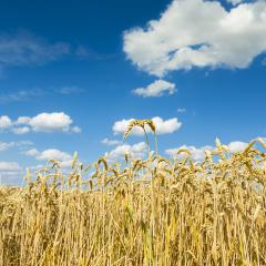 Cornfield agriculture harvest with blue cloudy sky in summer- Stock Photo or Stock Video of rcfotostock | RC-Photo-Stock