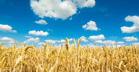 Cornfield agriculture with blue cloudy sky in summer- Stock Photo or Stock Video of rcfotostock | RC-Photo-Stock