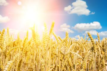 Cornfield agriculture with blue cloudy sky in summer an bright s : Stock Photo or Stock Video Download rcfotostock photos, images and assets rcfotostock | RC-Photo-Stock.: