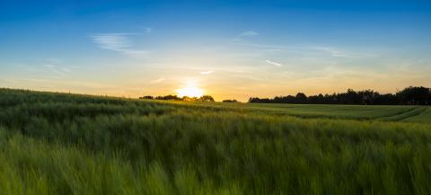 cornfield before sunset at dusk - Stock Photo or Stock Video of rcfotostock | RC-Photo-Stock
