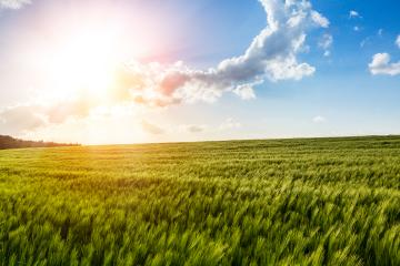Cornfield in the Sunset - with Lense Flare Effect- Stock Photo or Stock Video of rcfotostock | RC-Photo-Stock