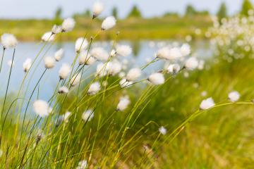 Cotton grass (Eriophorum) in the Hautes Fagnes  : Stock Photo or Stock Video Download rcfotostock photos, images and assets rcfotostock | RC-Photo-Stock.: