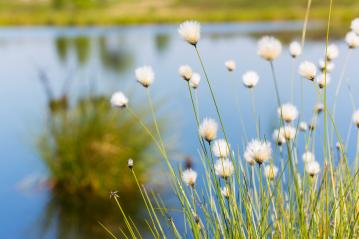 Cotton grass in the High Fens (Hautes Fagnes) : Stock Photo or Stock Video Download rcfotostock photos, images and assets rcfotostock | RC-Photo-Stock.: