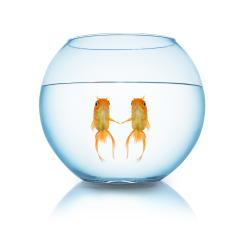 couple fishes in love in a fishbowl : Stock Photo or Stock Video Download rcfotostock photos, images and assets rcfotostock | RC-Photo-Stock.: