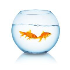 couple of goldfishes in a fishbowl- Stock Photo or Stock Video of rcfotostock | RC-Photo-Stock