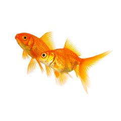 Couple of goldfishes in love- Stock Photo or Stock Video of rcfotostock | RC-Photo-Stock