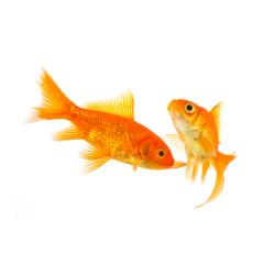 Couple of goldfishes swims : Stock Photo or Stock Video Download rcfotostock photos, images and assets rcfotostock | RC-Photo-Stock.: