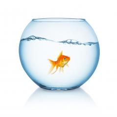 curious looking goldfish ina fishbowl- Stock Photo or Stock Video of rcfotostock | RC-Photo-Stock