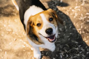 cute beagle dog- Stock Photo or Stock Video of rcfotostock | RC-Photo-Stock