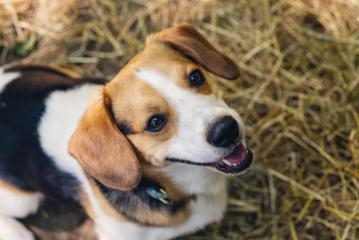 Cute beagle dog : Stock Photo or Stock Video Download rcfotostock photos, images and assets rcfotostock | RC-Photo-Stock.: