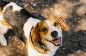 cute beagle dog looking to camera- Stock Photo or Stock Video of rcfotostock | RC-Photo-Stock