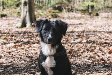 Cute black & white border collie in forest : Stock Photo or Stock Video Download rcfotostock photos, images and assets rcfotostock | RC-Photo-Stock.: