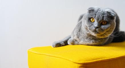 Cute Cat (scottish fold) relaxing on a yellow sofa, with copy space for individual text : Stock Photo or Stock Video Download rcfotostock photos, images and assets rcfotostock | RC-Photo-Stock.: