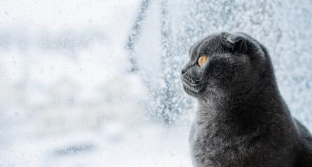 Cute scottish fold cat siting on window sill and looks in snow-covered window, banner size, with copy space for individual text : Stock Photo or Stock Video Download rcfotostock photos, images and assets rcfotostock | RC-Photo-Stock.: