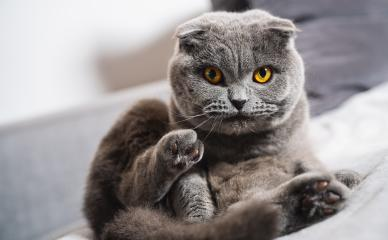 Cutescottish fold cat lying on a sofa and looks interested : Stock Photo or Stock Video Download rcfotostock photos, images and assets rcfotostock | RC-Photo-Stock.: