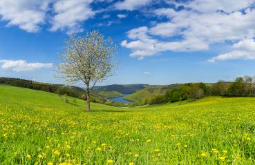 dandelion meadow in the eifel landscape with Lake Rursee at sping,  germany : Stock Photo or Stock Video Download rcfotostock photos, images and assets rcfotostock | RC-Photo-Stock.: