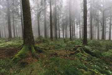 dark pine tree forest with fog- Stock Photo or Stock Video of rcfotostock   RC-Photo-Stock