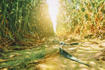 Destroyed harvest due to drought : Stock Photo or Stock Video Download rcfotostock photos, images and assets rcfotostock | RC-Photo-Stock.: