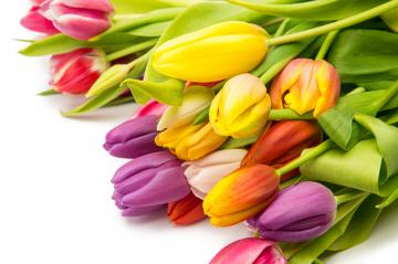 different Tulip flowers- Stock Photo or Stock Video of rcfotostock | RC-Photo-Stock
