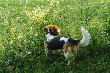dog Beagle on a walk on a field- Stock Photo or Stock Video of rcfotostock | RC-Photo-Stock