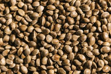 dried organic hemp seeds background : Stock Photo or Stock Video Download rcfotostock photos, images and assets rcfotostock | RC-Photo-Stock.: