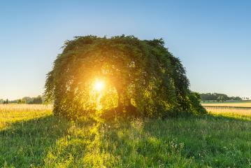 Dwarf Beech at sunset : Stock Photo or Stock Video Download rcfotostock photos, images and assets rcfotostock | RC-Photo-Stock.: