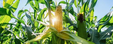 Ear of corn in a field in summer before harvest, banner size : Stock Photo or Stock Video Download rcfotostock photos, images and assets rcfotostock | RC-Photo-Stock.: