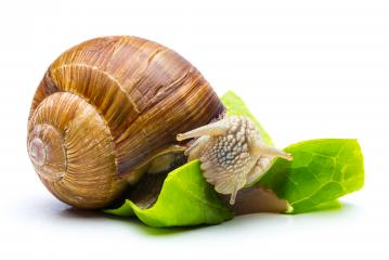 eating Roman snail  : Stock Photo or Stock Video Download rcfotostock photos, images and assets rcfotostock | RC-Photo-Stock.: