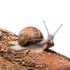 edible snail- Stock Photo or Stock Video of rcfotostock | RC-Photo-Stock