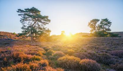 endless hills with blooming heather and trees at sunrise : Stock Photo or Stock Video Download rcfotostock photos, images and assets rcfotostock | RC-Photo-Stock.: