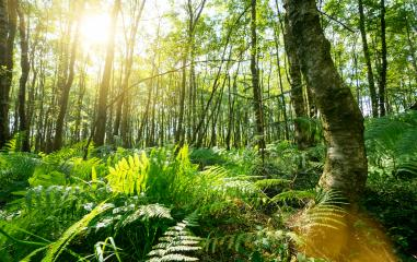 Ferns In The Forest with Sunbeams- Stock Photo or Stock Video of rcfotostock | RC-Photo-Stock