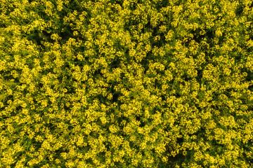 field of rapeseed flower. drone shot : Stock Photo or Stock Video Download rcfotostock photos, images and assets rcfotostock | RC-Photo-Stock.: