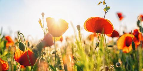 Field of red poppies- Stock Photo or Stock Video of rcfotostock | RC-Photo-Stock