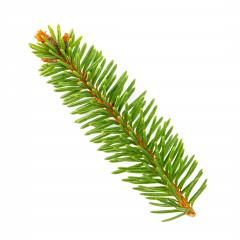 fir branch. Christmas tree, pine, winter isolated on white- Stock Photo or Stock Video of rcfotostock | RC-Photo-Stock