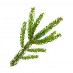 fir branch for Christmas isolated on white background- Stock Photo or Stock Video of rcfotostock | RC-Photo-Stock