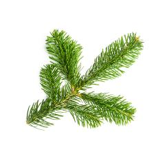 fir branche- Stock Photo or Stock Video of rcfotostock   RC-Photo-Stock
