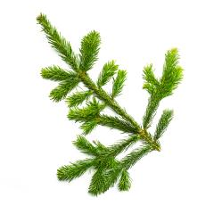 fir branche arm - Stock Photo or Stock Video of rcfotostock | RC-Photo-Stock