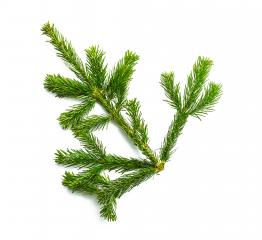 fir branche on white - Stock Photo or Stock Video of rcfotostock | RC-Photo-Stock