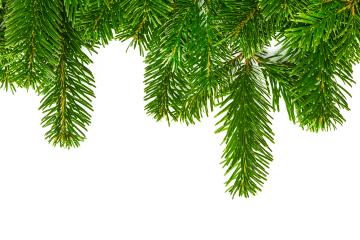 fir branches on white- Stock Photo or Stock Video of rcfotostock | RC-Photo-Stock