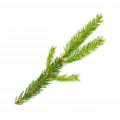 Fir tree branch isolated on white background- Stock Photo or Stock Video of rcfotostock | RC-Photo-Stock