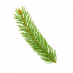 fir tree branch on white background : Stock Photo or Stock Video Download rcfotostock photos, images and assets rcfotostock | RC-Photo-Stock.: