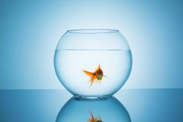 floating goldfish in a fishbowl- Stock Photo or Stock Video of rcfotostock | RC-Photo-Stock
