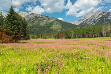 Flower field at the canadian rockies at banff canada : Stock Photo or Stock Video Download rcfotostock photos, images and assets rcfotostock | RC-Photo-Stock.: