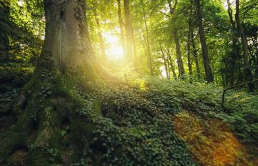 forest tree with illuminating sunlight at the morning- Stock Photo or Stock Video of rcfotostock | RC-Photo-Stock