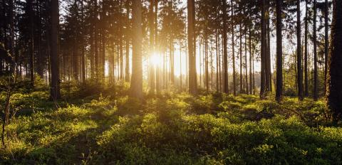 forest trees backlight by golden sunlight before sunset with sun rays  : Stock Photo or Stock Video Download rcfotostock photos, images and assets rcfotostock | RC-Photo-Stock.: