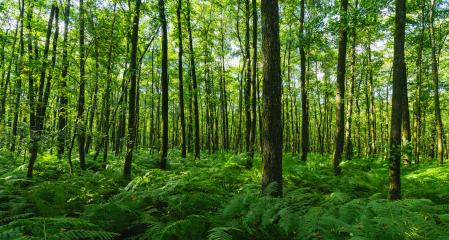 forest with ferns covering the Ground- Stock Photo or Stock Video of rcfotostock | RC-Photo-Stock