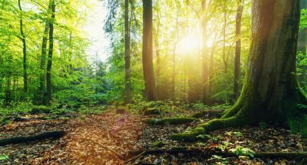Forest with golden sun rays- Stock Photo or Stock Video of rcfotostock | RC-Photo-Stock
