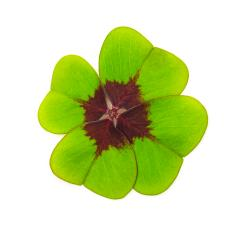 Four-leaf clover- Stock Photo or Stock Video of rcfotostock | RC-Photo-Stock